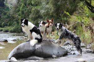 Picture of (4) border collies