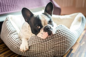 Picture of Boston Terrier puppy