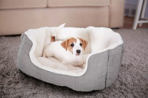Jack Russell Puppy in a bed