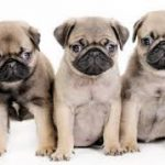tiny dog breeds good for seniors