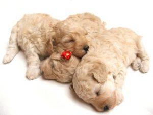 litter of three puppies