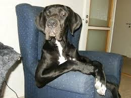 great dane sitting in a chair dog thinking