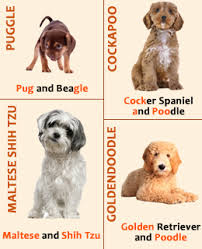 picture of crossbreeding dogs