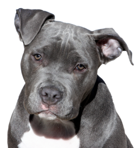 picture of a staffie pit bull