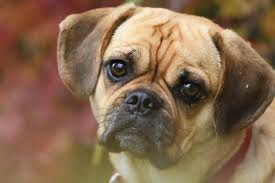 Face of Puggle Breed