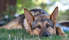 German Shepherd – An Amazing Trainable Breed!